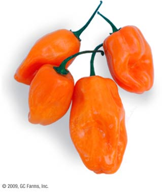 Pepper_habanero